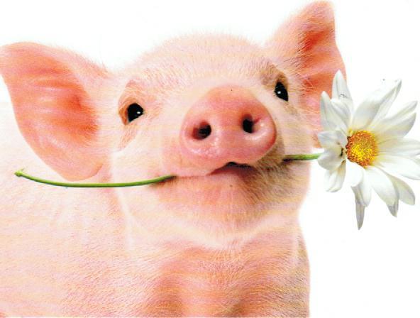Petit cochon (1)